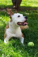 cane con palla da tennis foto