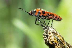 ritratto di un insetto rosso