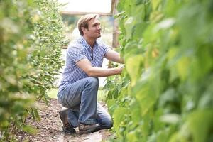 agricoltore che controlla le piante di pomodori in serra