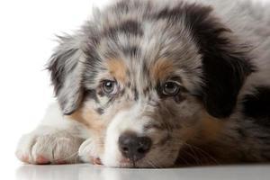 cucciolo di pastore australiano pazientemente in attesa foto
