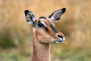 impala foto