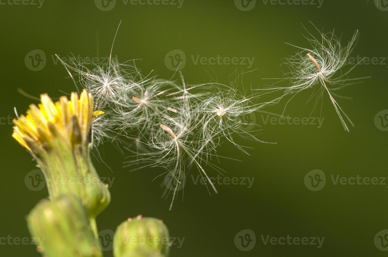 pólens foto