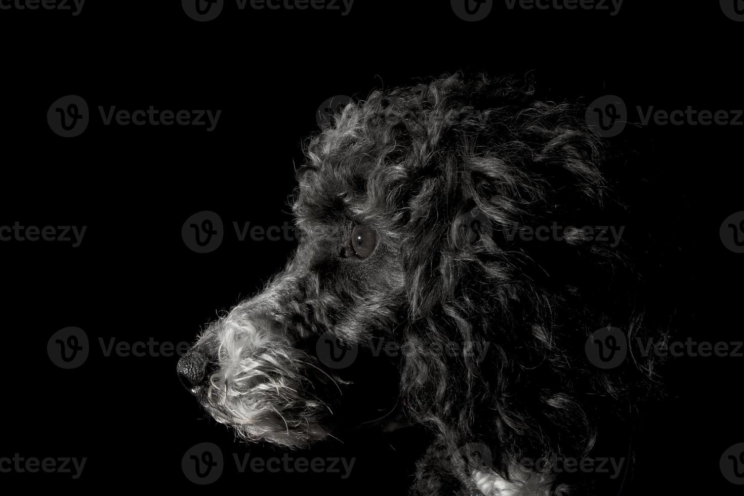 foto de perfil de cachorro poodle preto, olhando atentamente