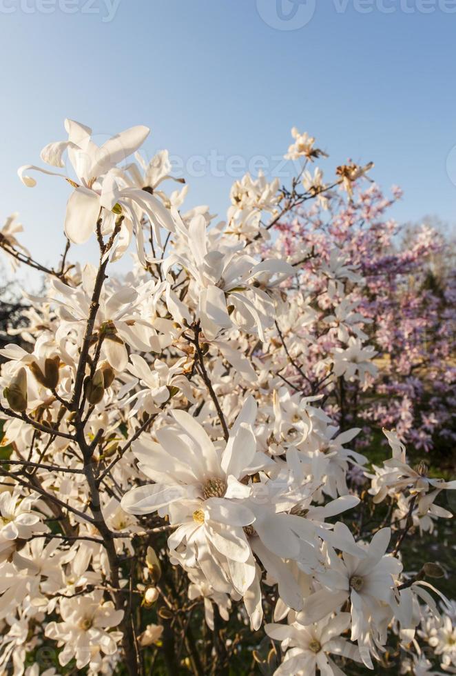 flores de magnólia linda na primavera foto