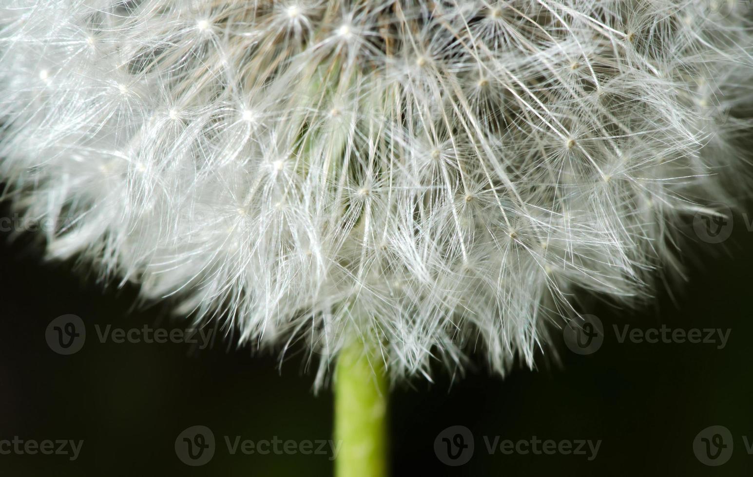 detalhe do dente-de-leão da flor do passado foto