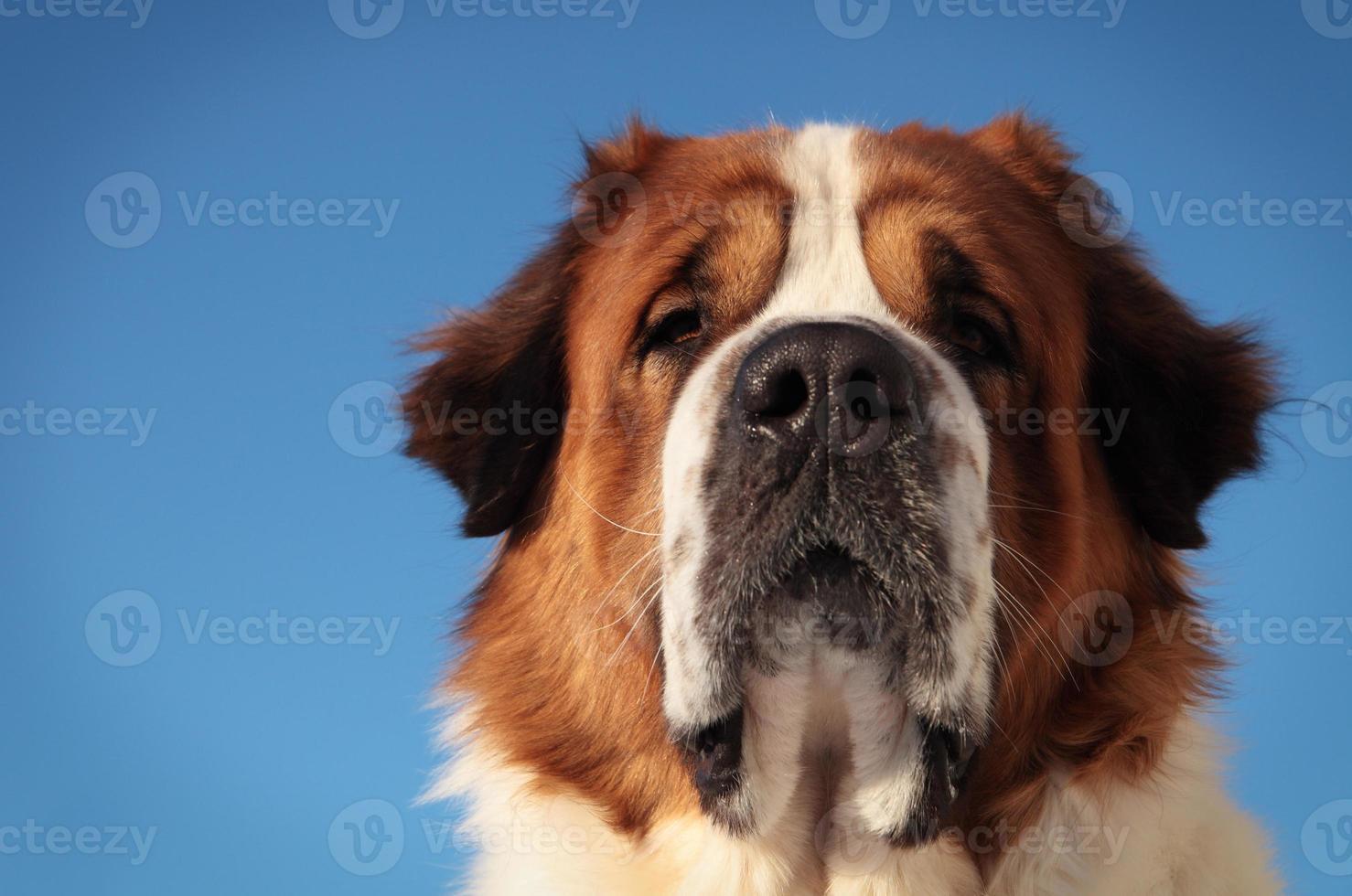 cachorro Grande foto