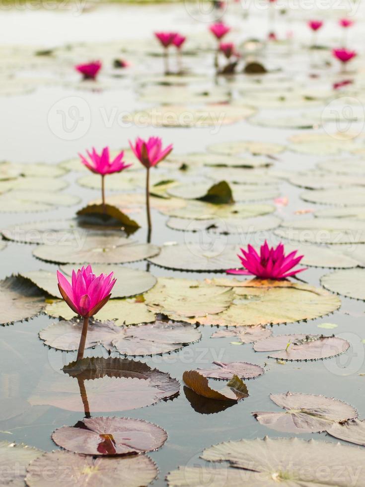 cenário de lagoa de lótus. foto