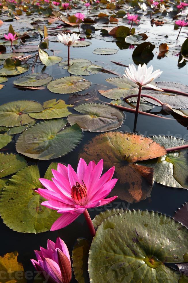 o mar de lótus rosa, tailândia foto