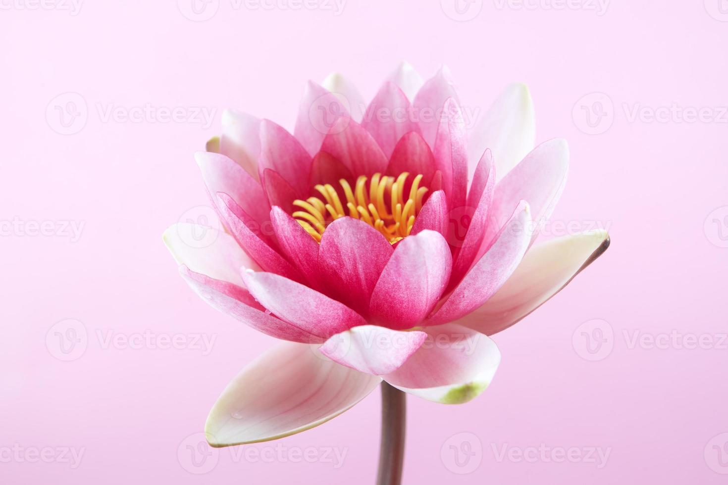 lírio d'água, lótus rosa foto