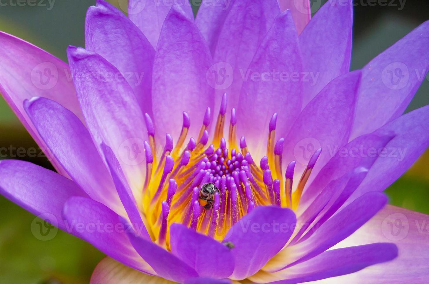 feche a abelha na flor de lótus violeta. foto