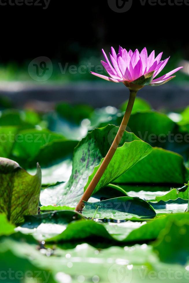 lírio de água de lótus rosa linda na lagoa foto