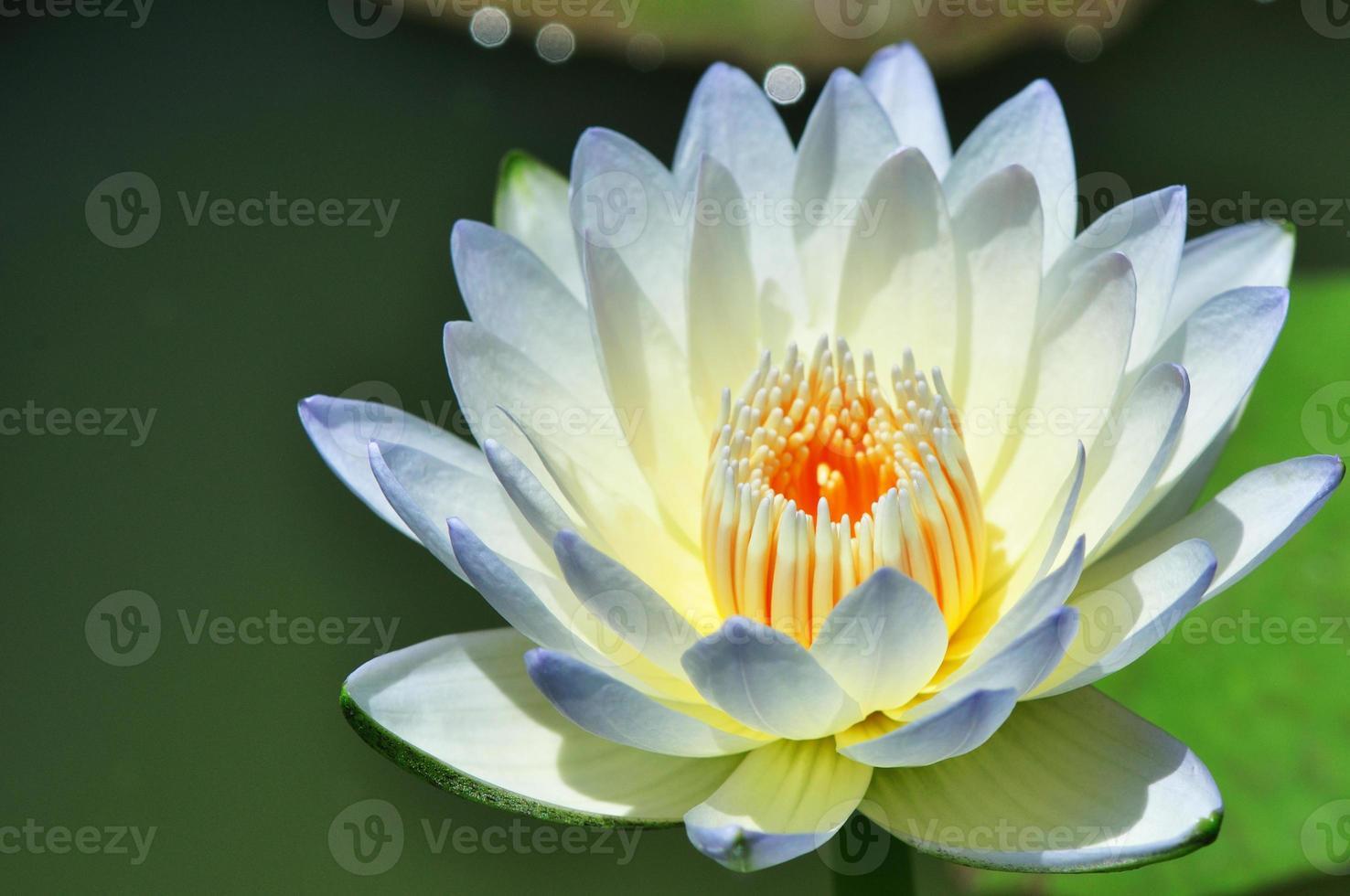 Flor de Lotus foto