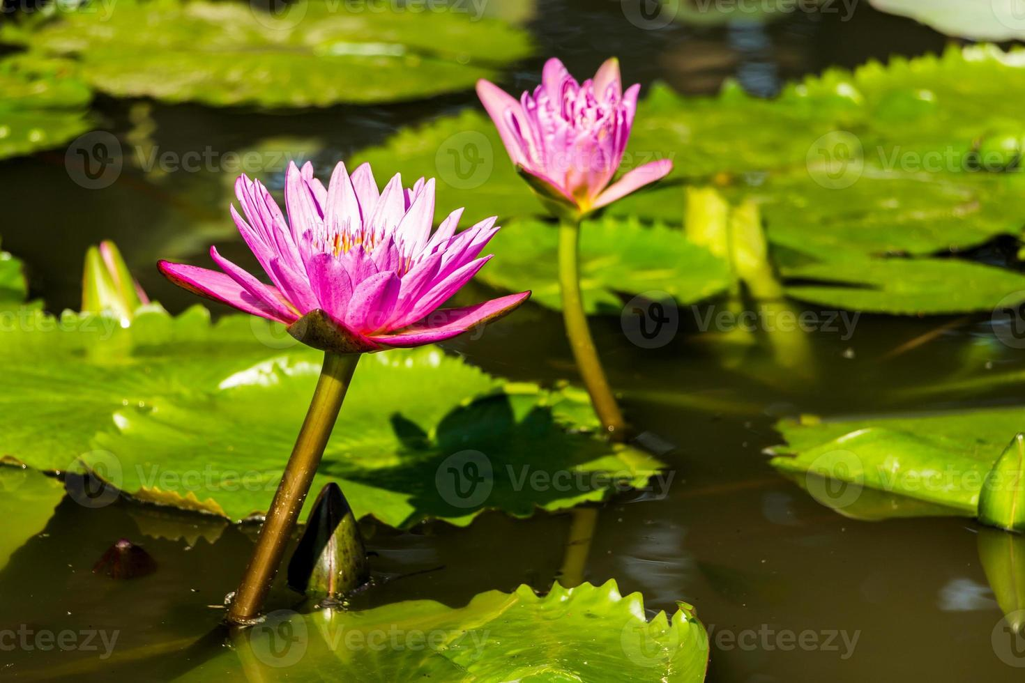 nenúfares roxos bonitos flutuando na lagoa. foto