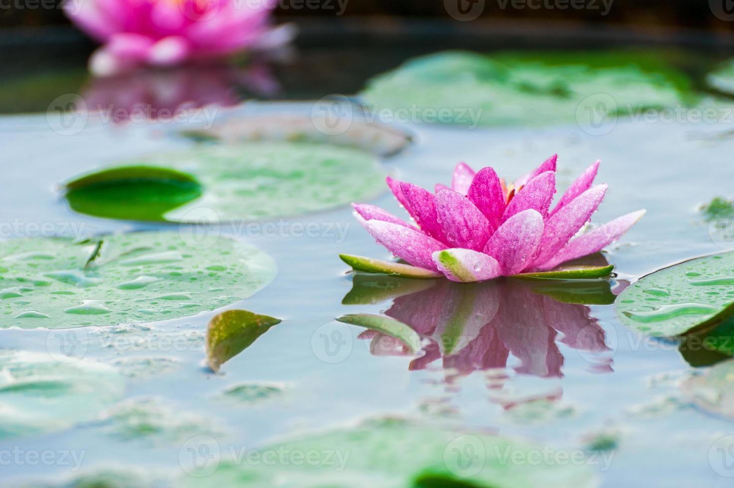 bela nenúfar ou flor de lótus em uma lagoa foto