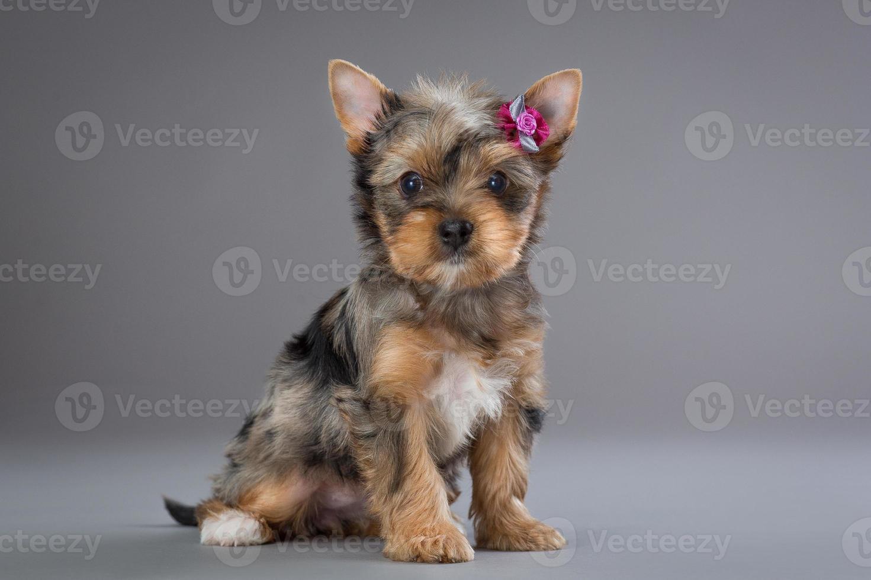 filhote de cachorro yorkshire terrier foto