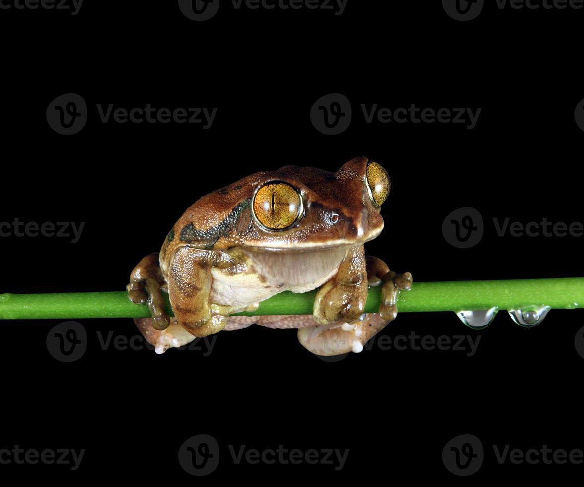 peacocktree sapo sentado no caule da planta com gotas de orvalho foto