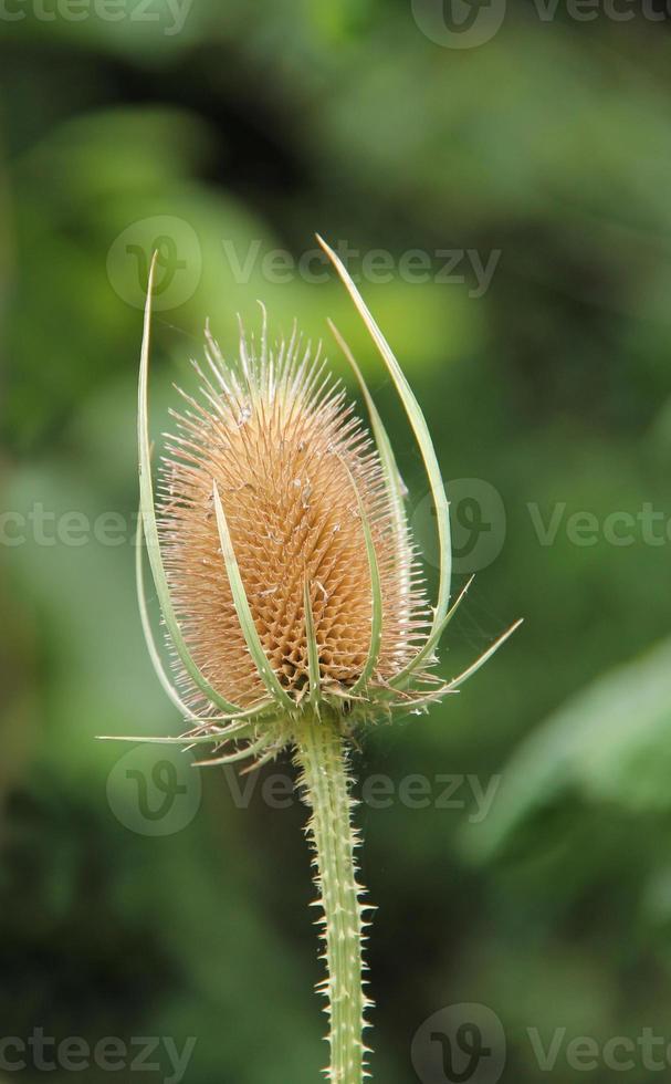 planta de cardo. foto
