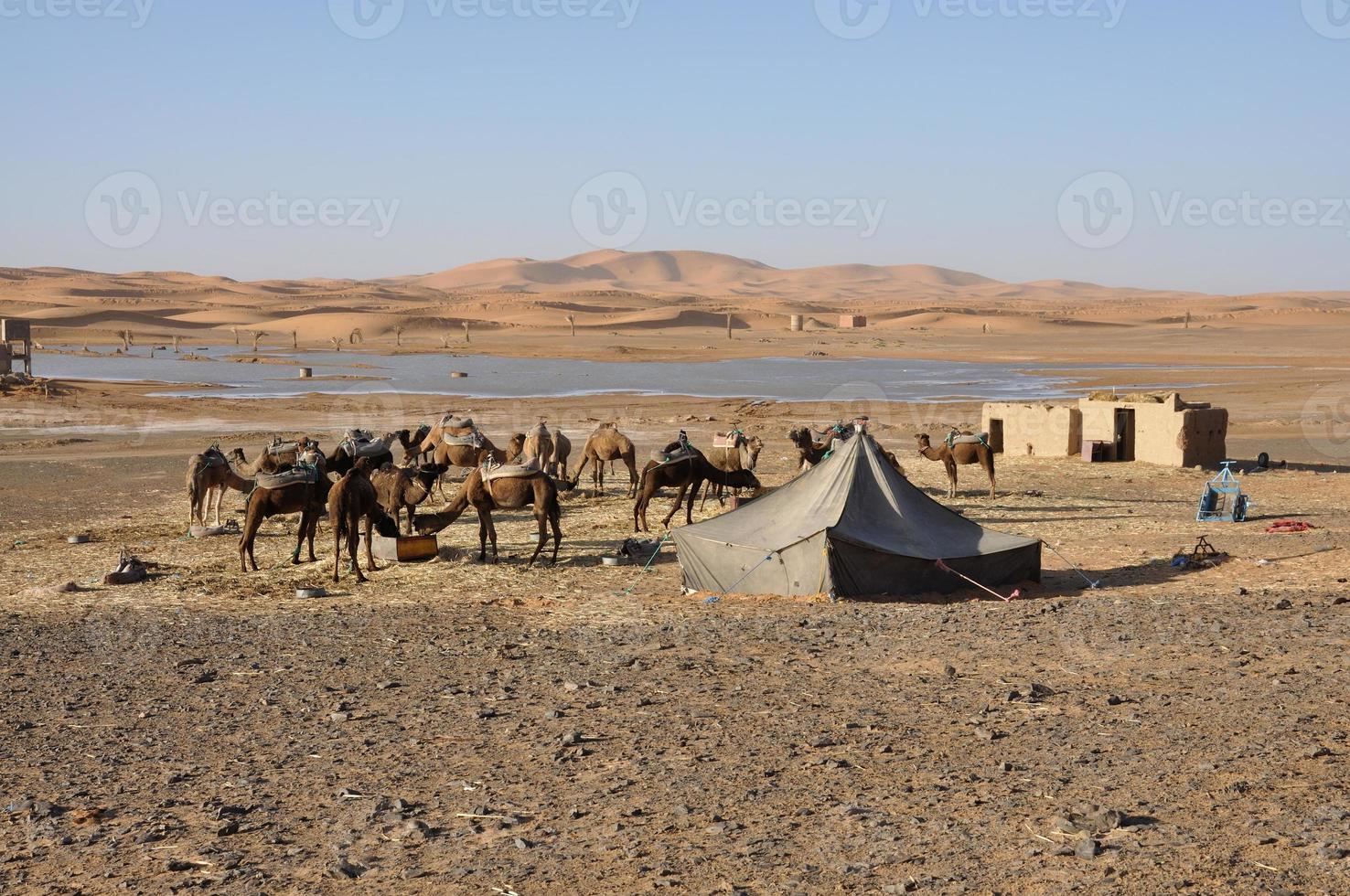 camelos no oásis, deserto do saara foto