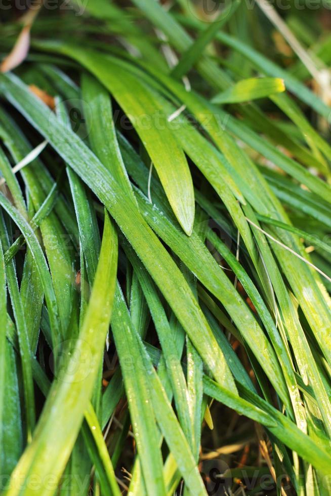 folhas de baga em condensação natural. foto
