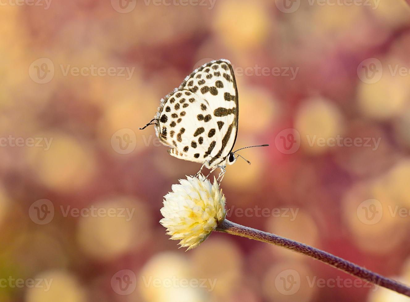 borboleta marrom branca, pendurado na flor com bokeh de fundo foto