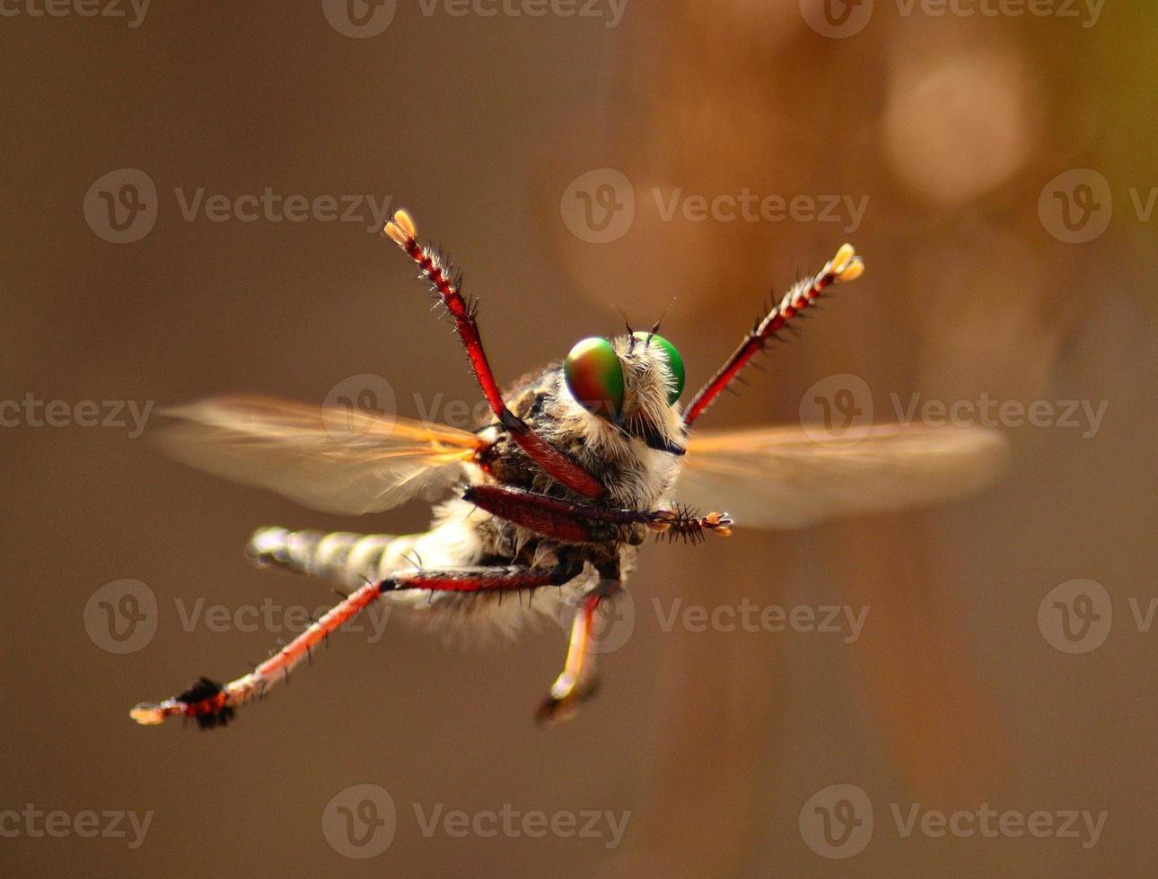 acrobacias espetaculares do magnífico ladrão voam em seu ritual de namoro foto