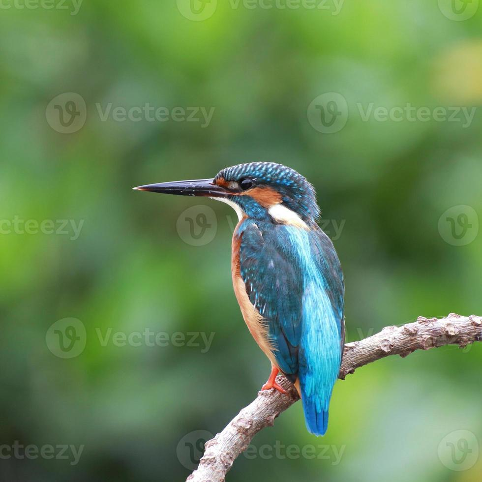 pássaro azul lindo martinho pescatore em um galho foto