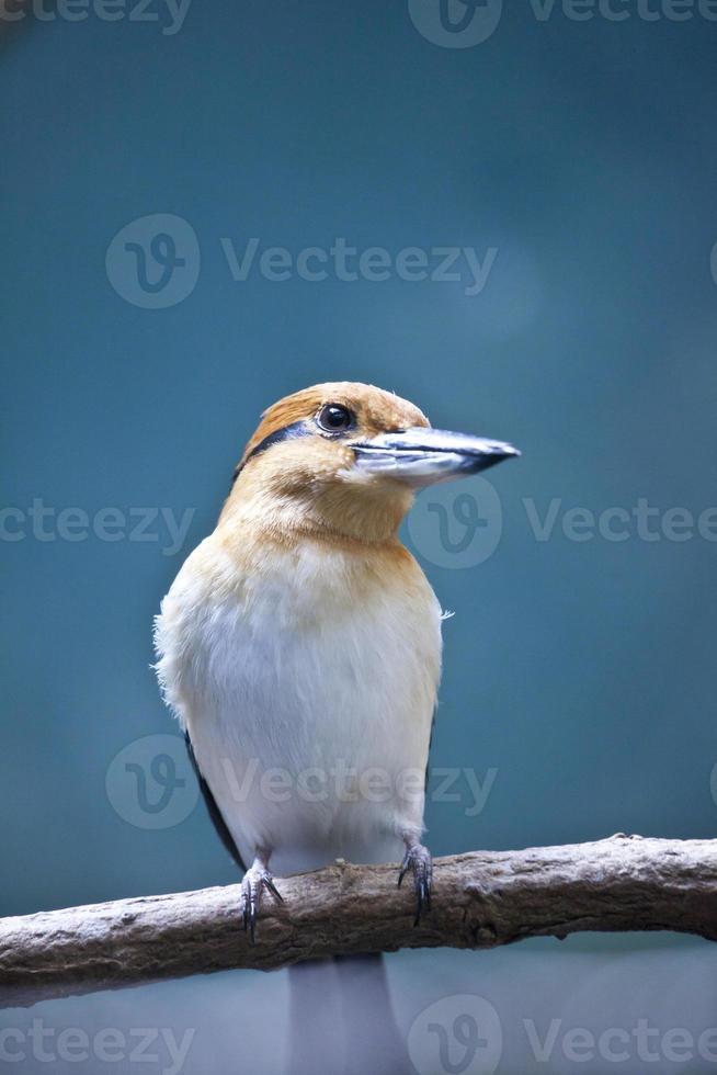 guam kingfisher foto