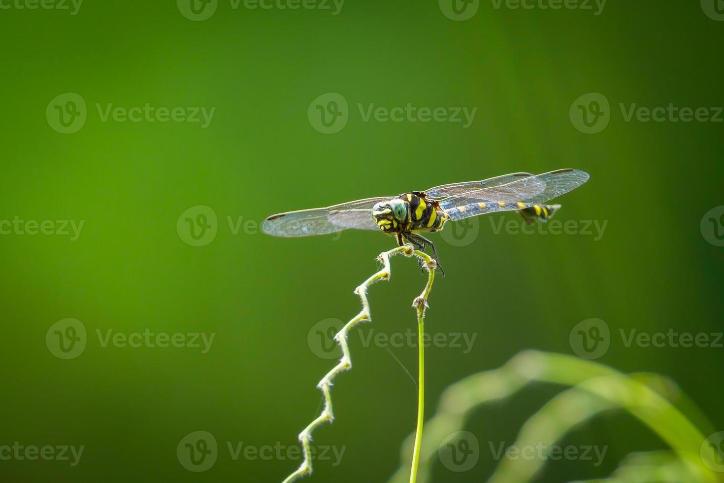 a libélula pegar na planta foto