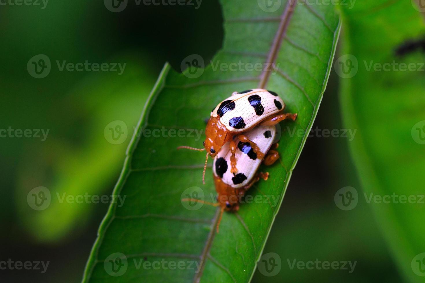 duas estações de reprodução no besouro de folha verde foto