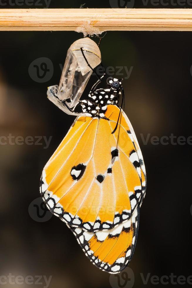 a borboleta tigre simples foto