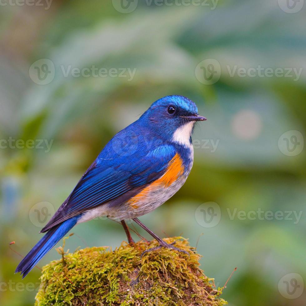 bluetail do himalaia foto