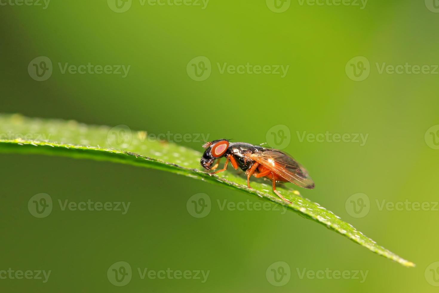 insetos muscidae foto