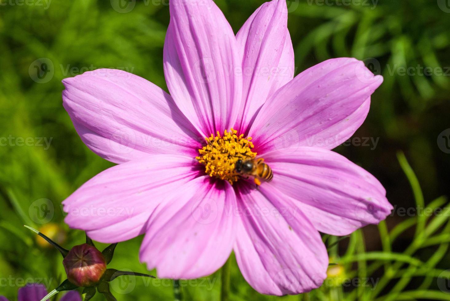 abelha e flor foto
