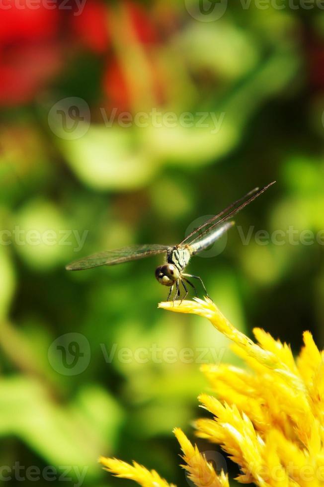 libélula de perto foto