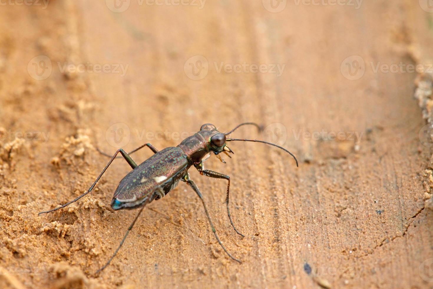 besouros tigre insetos - cicindelidae foto