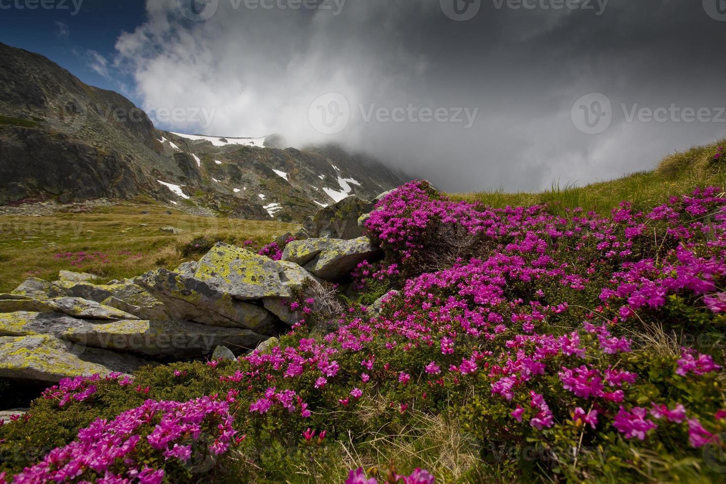 cenário alpino e flores de rododendro rosa foto