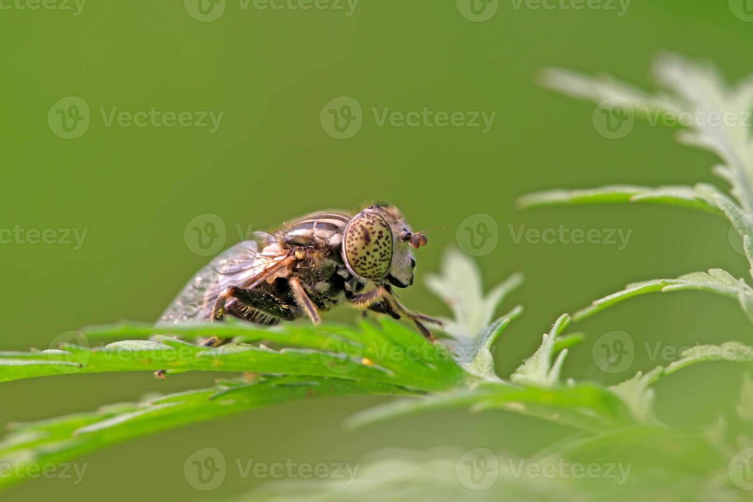 insetos syrphidae foto