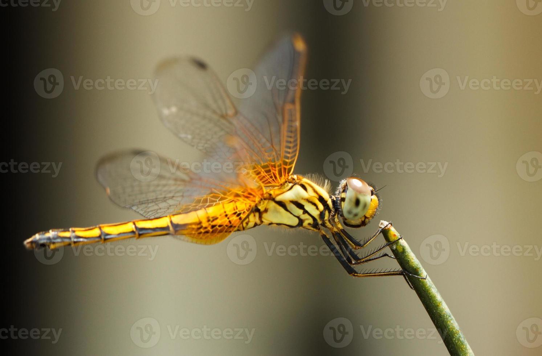 a libélula amarela foto