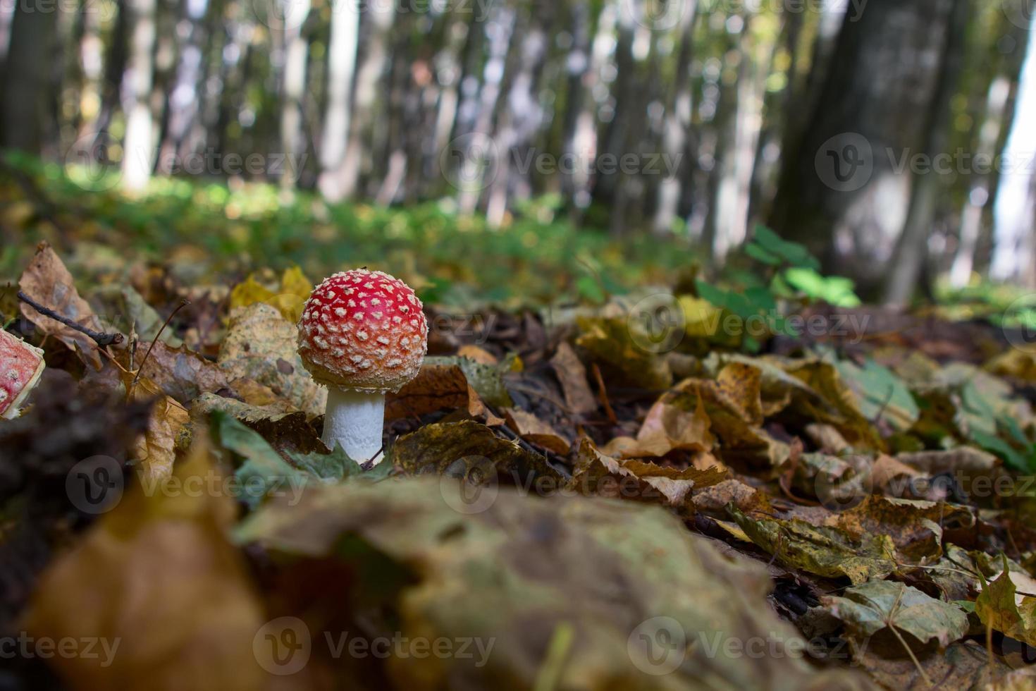 cogumelo amanita na floresta foto