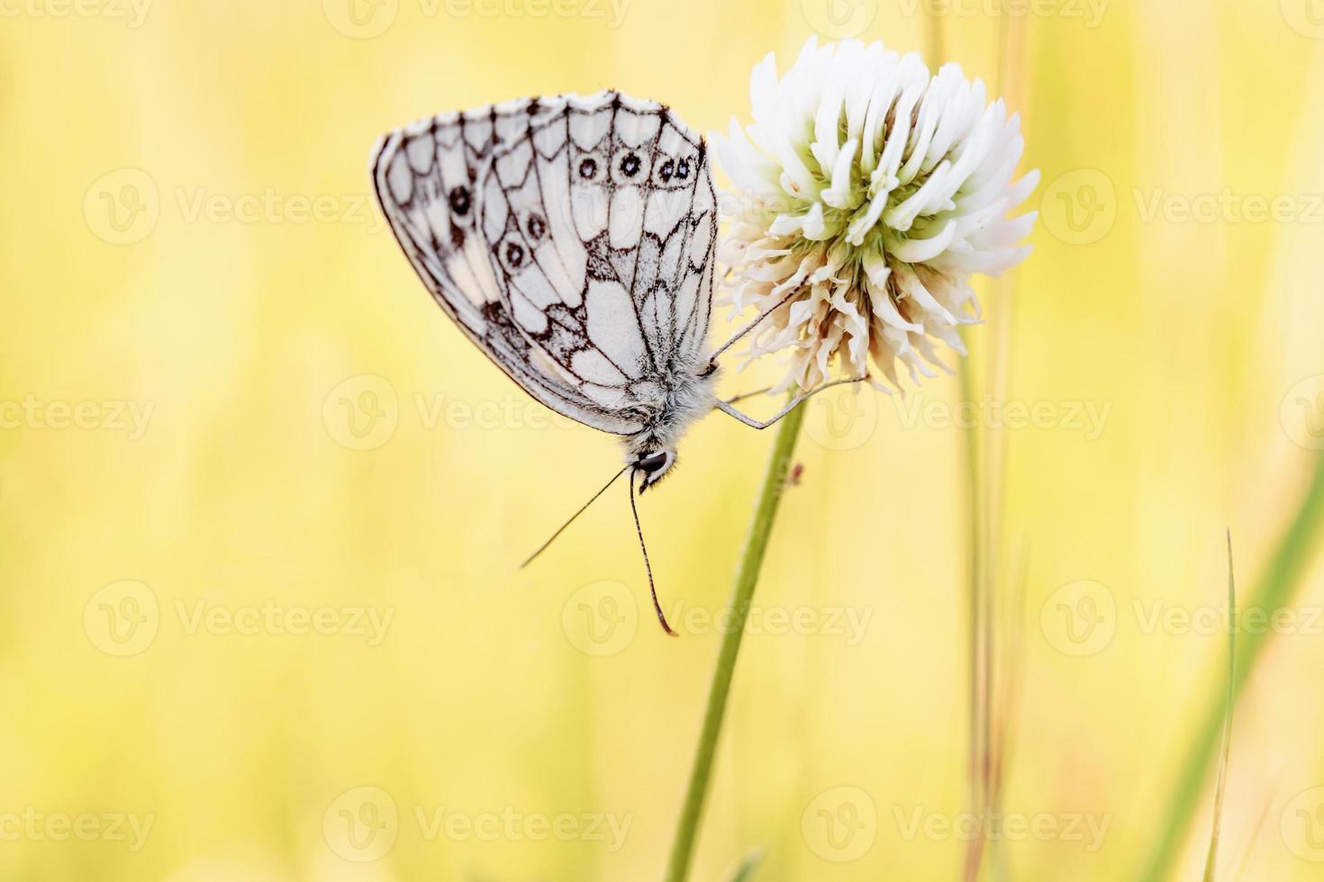 borboleta em mármore branco do tabuleiro de xadrez foto