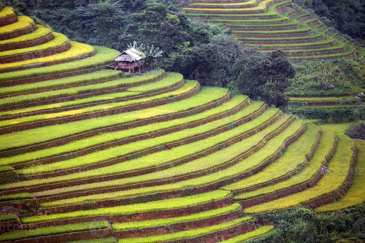 fazenda de arroz no Vietnã foto