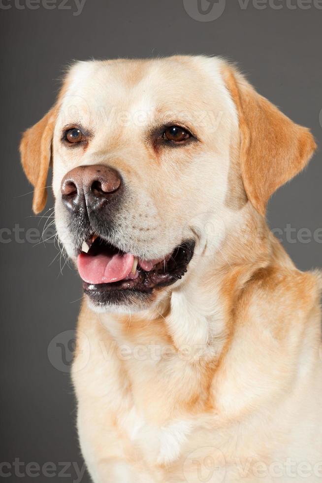 cão labrador retriever loiro. tiro do estúdio. foto