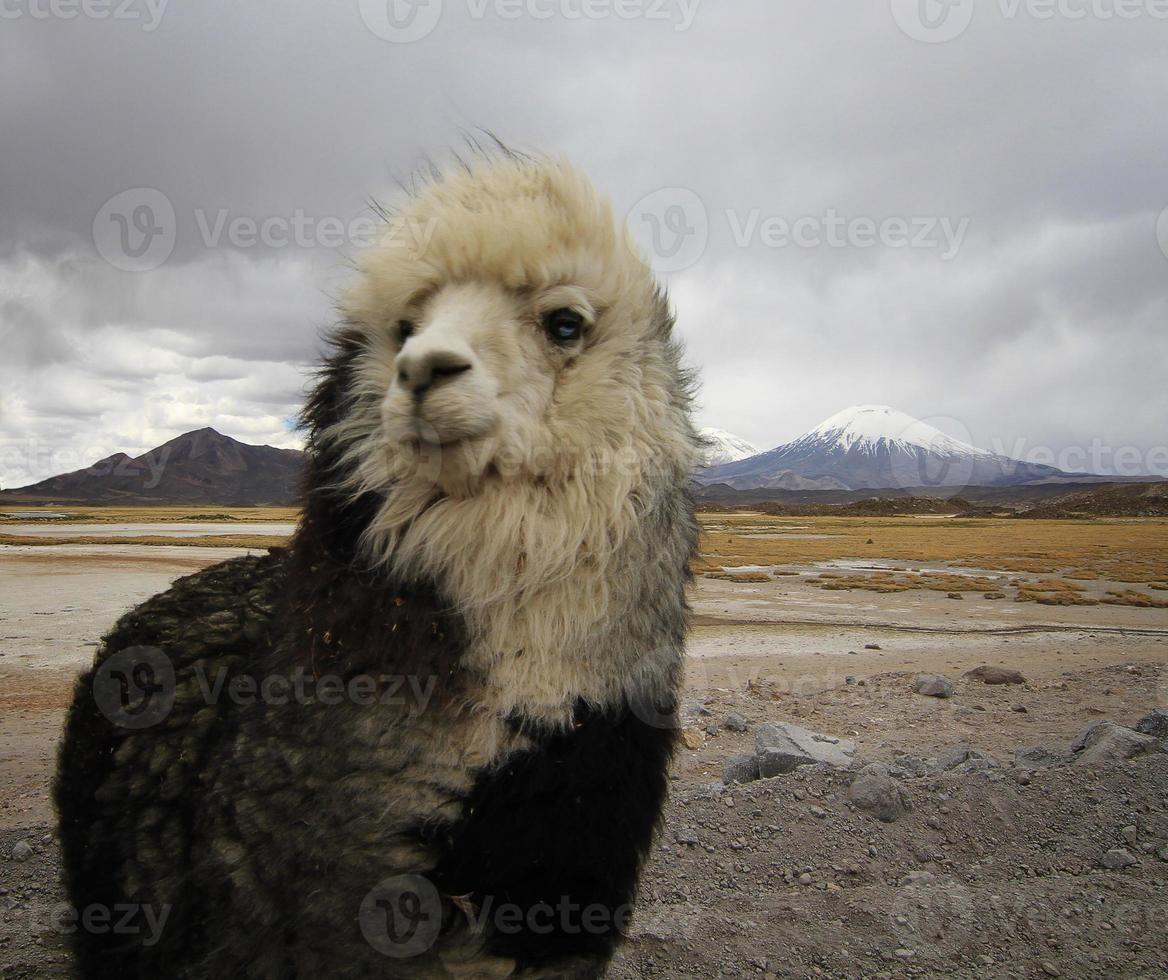 alpaca no altiplano do chile foto