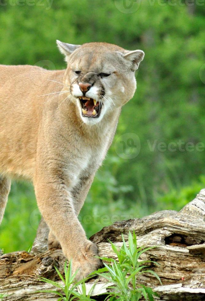 Close de um grande leão da montanha rosnando. foto