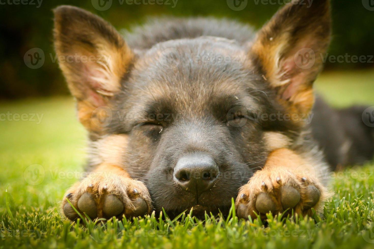 filhote de pastor alemão dormindo foto