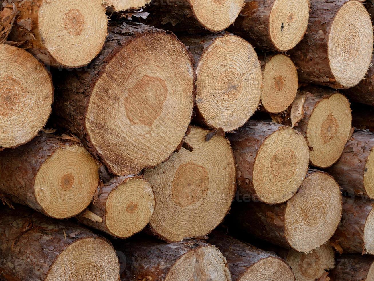 detalhe de log de pinheiro norueguês (pinus resinosa) foto