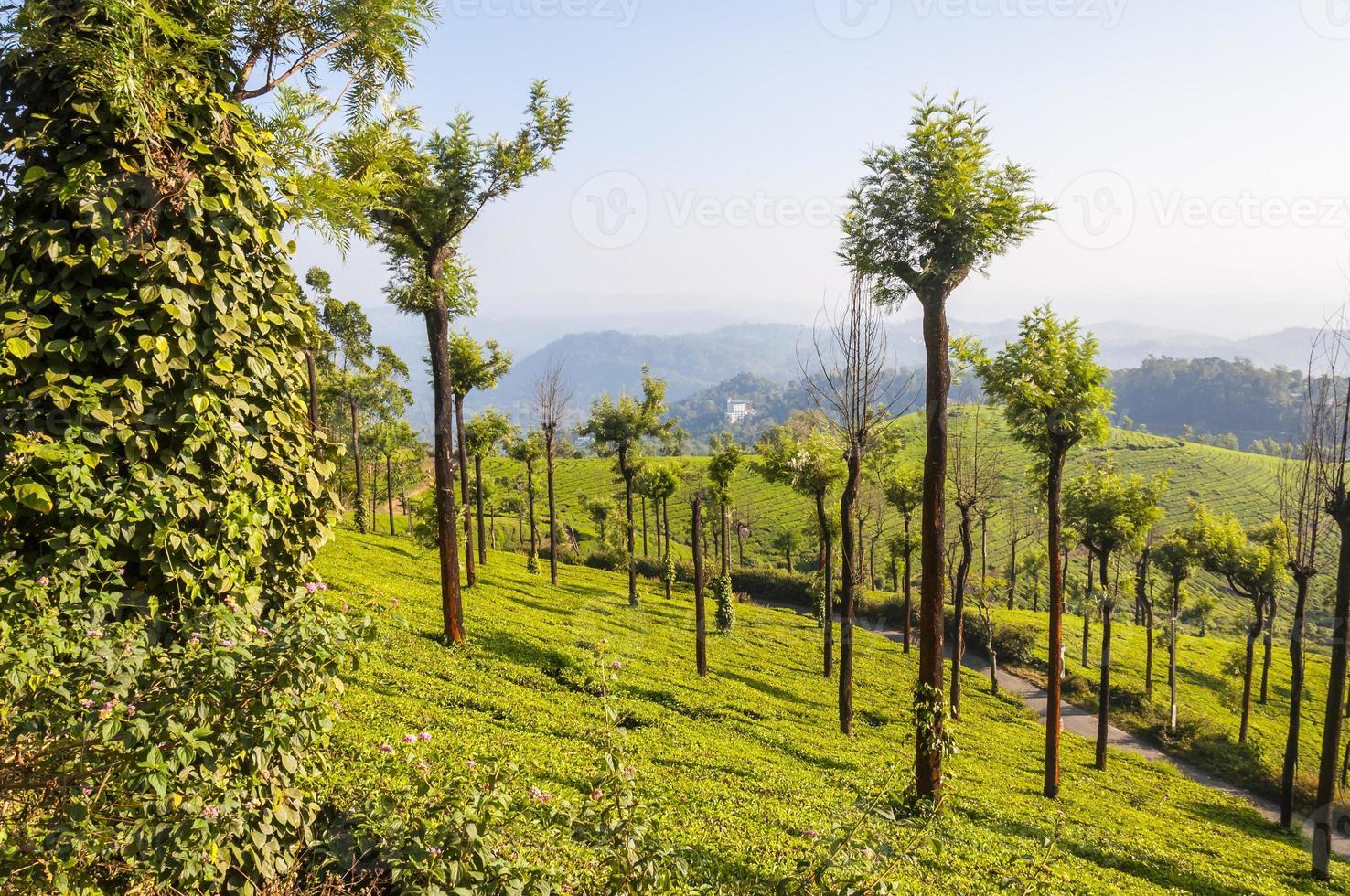 plantações de chá nas montanhas de munnar foto