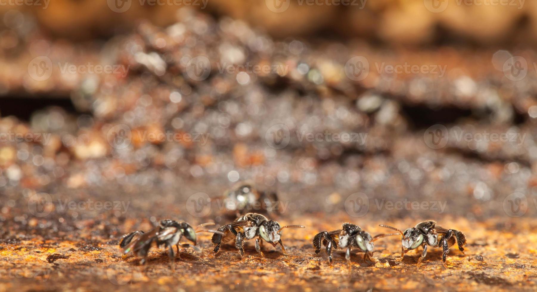 abelha sem ferrão, vivendo no buraco do metal close-up foto
