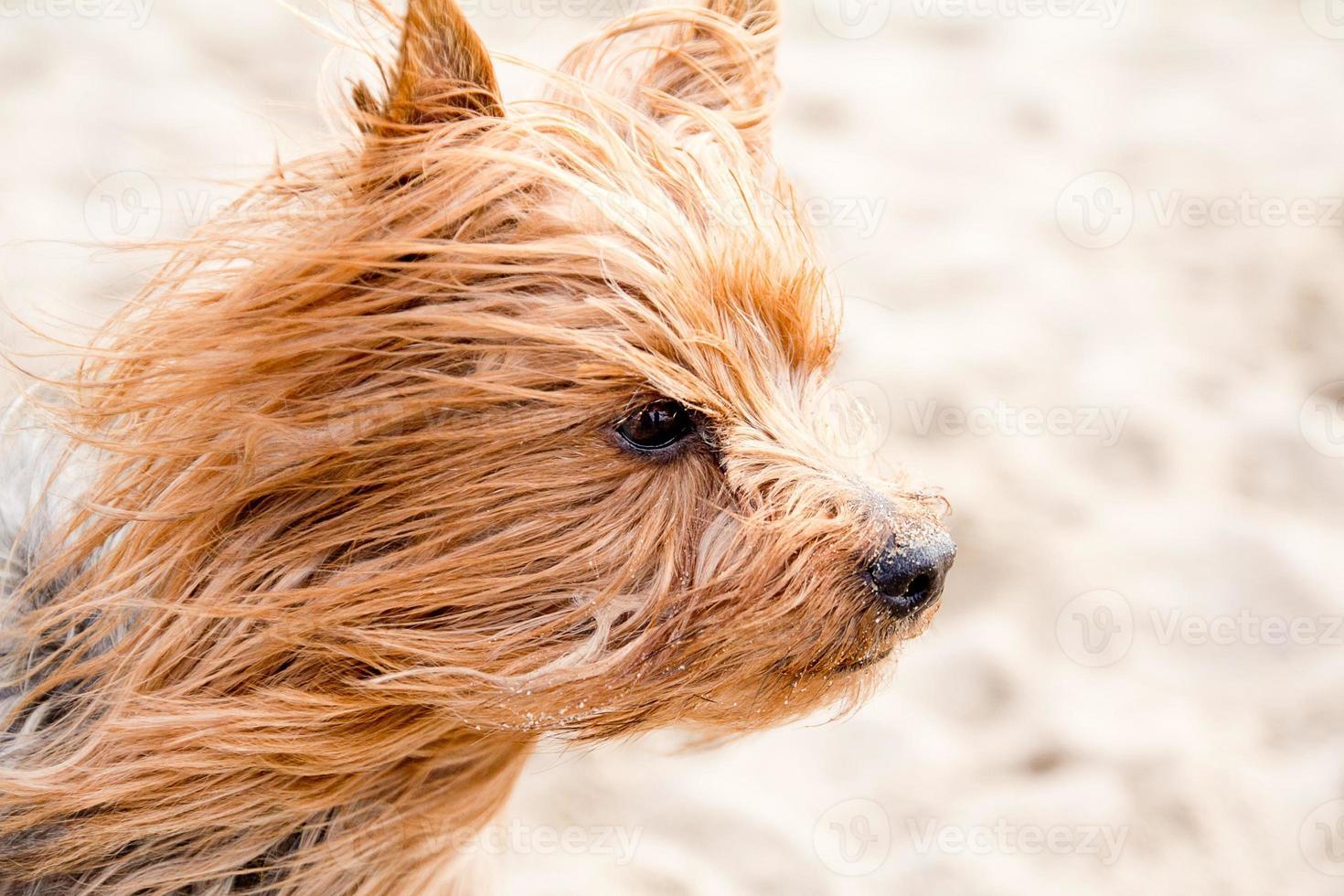 yorkshire terrier na praia foto