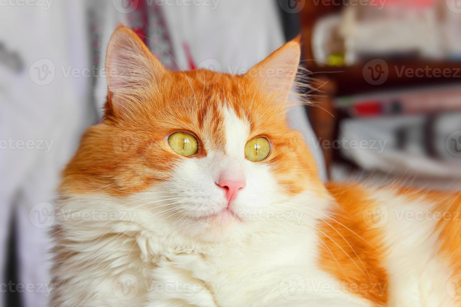 majestoso gato vermelho foto